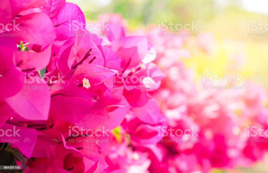 the Pink bougainvillea flower are blooming in the garden with sunlight - ilustración de arte vectorial
