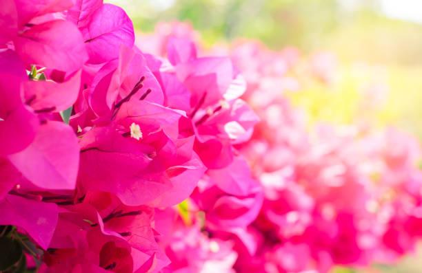 the Pink bougainvillea flower are blooming in the garden with sunlight - ilustración de arte vectorial