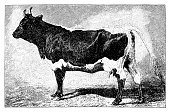 The Pinzgauer is a breed of domestic cattle from the Pinzgau region of the federal state of Salzburg in Austria