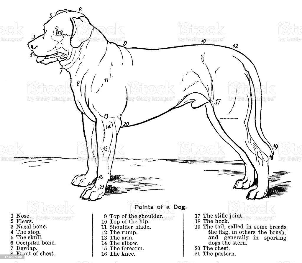 The Points of a Dog vector art illustration