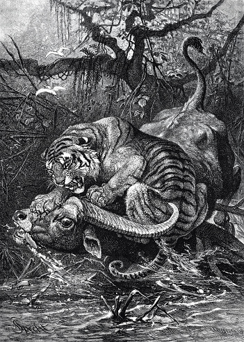 The prey of the tiger