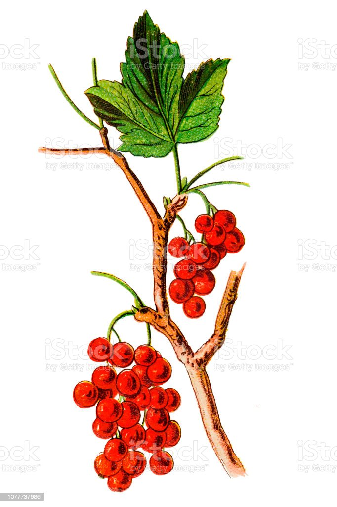 Royalty Free Red Currant Clip Art  Vector Images  U0026 Illustrations