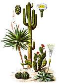 Illustration of The saguaro (Carnegiea gigantea) and Aloe ferox (The bitter aloe)