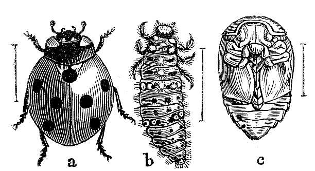 stockillustraties, clipart, cartoons en iconen met the seven-spot ladybird (coccinella septempunctata) - larve