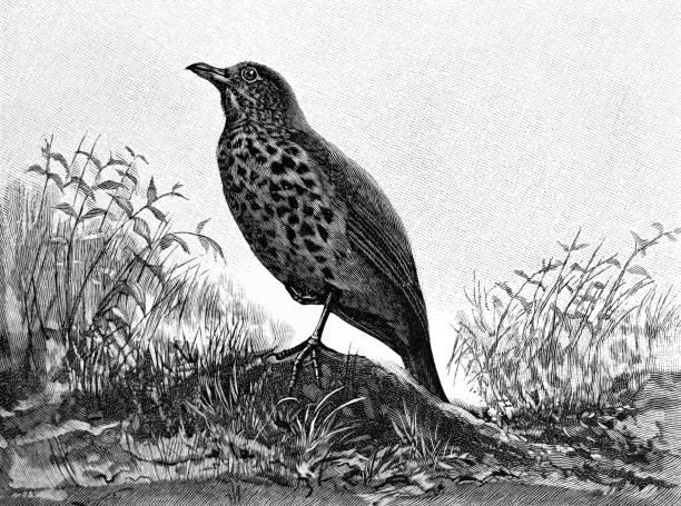 ilustrações de stock, clip art, desenhos animados e ícones de the song thrush bird - song thrush