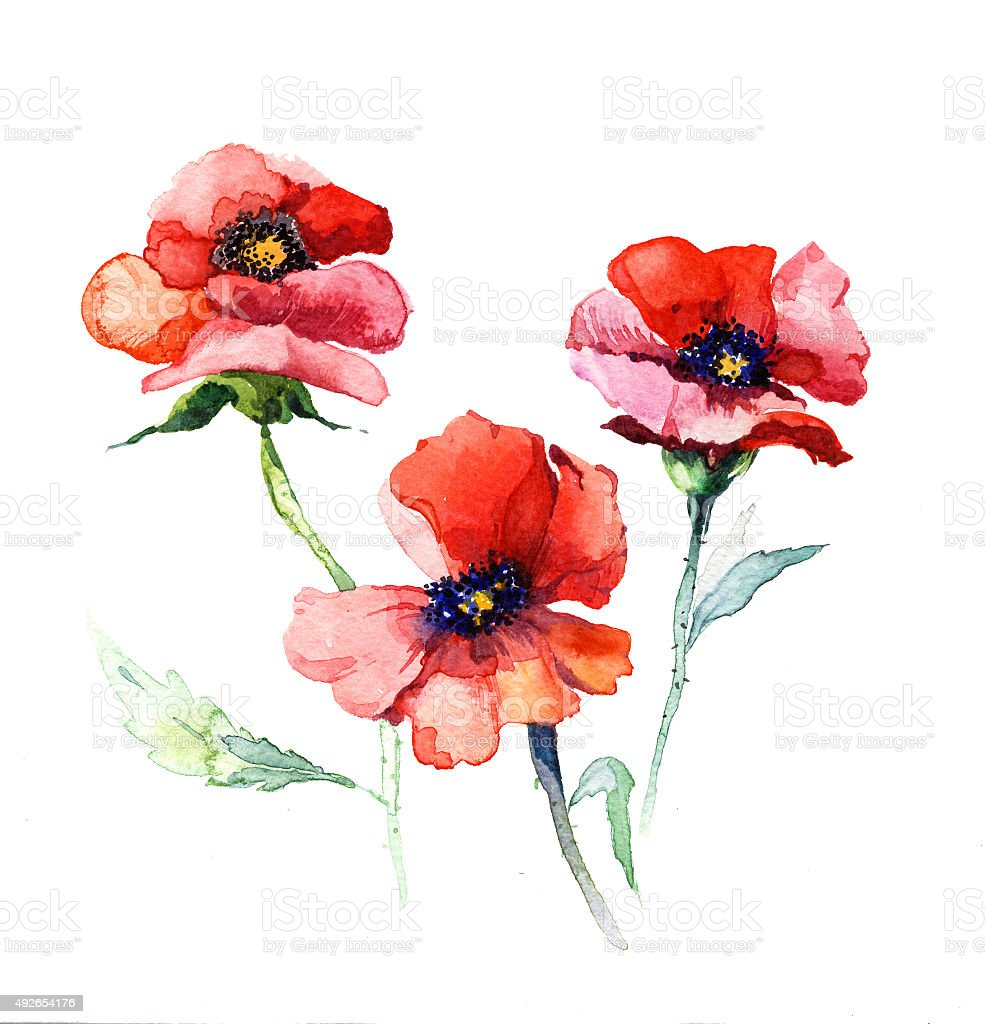 The spring flowers poppy painting watercolor isolated on for Spring flowers watercolor