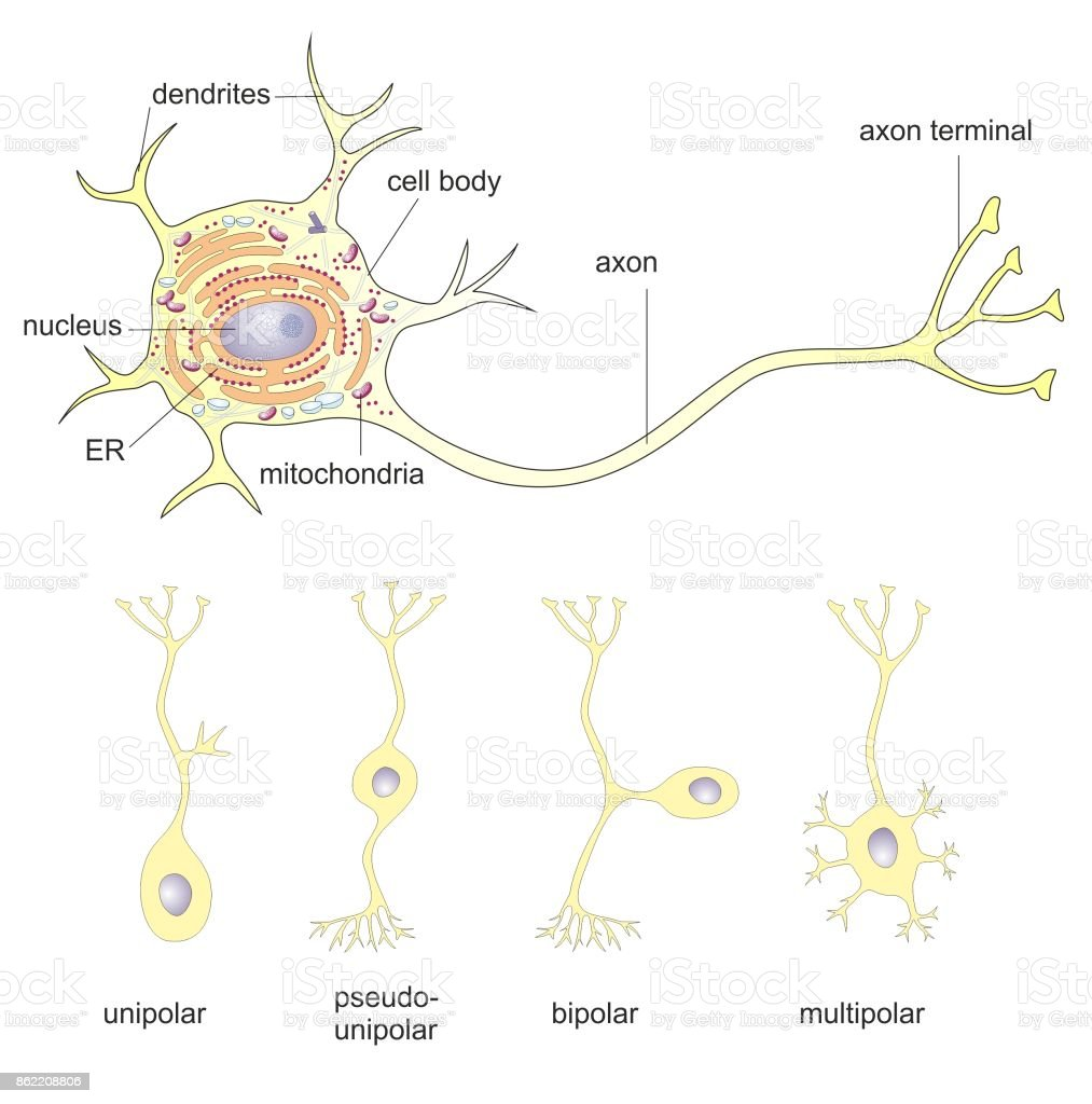 Diagram Of Multipolar Neuron - Wiring Diagram Database •