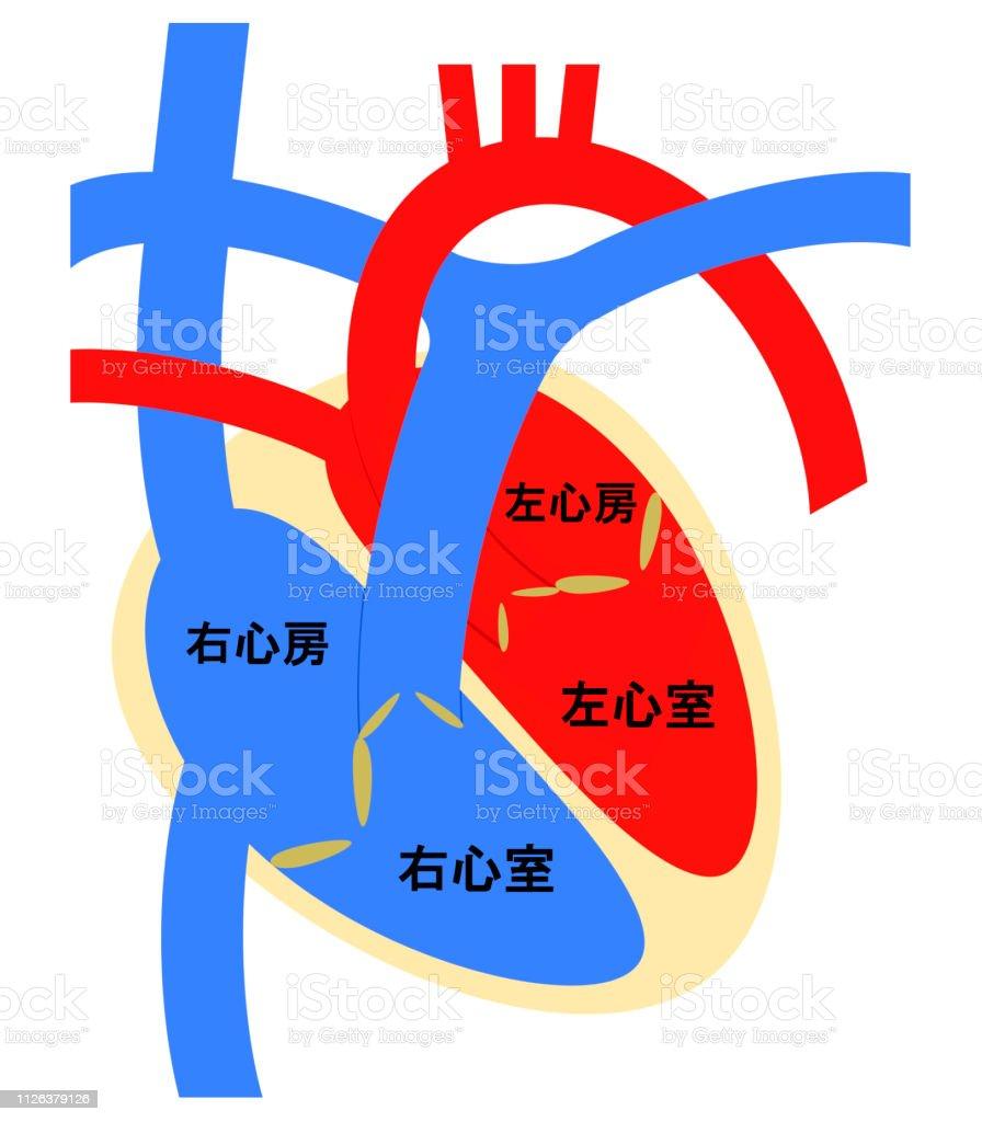 Vetores De A Estrutura Do Coração E Mais Imagens De Aurícula