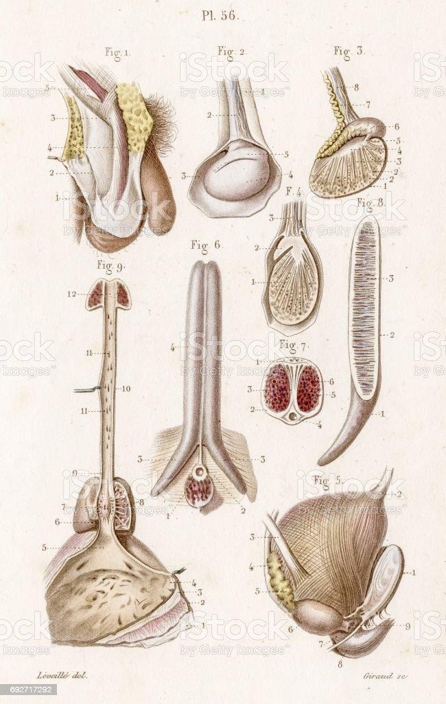 Die Hoden Anatomie 1886 Gravur Stock Vektor Art und mehr Bilder von ...