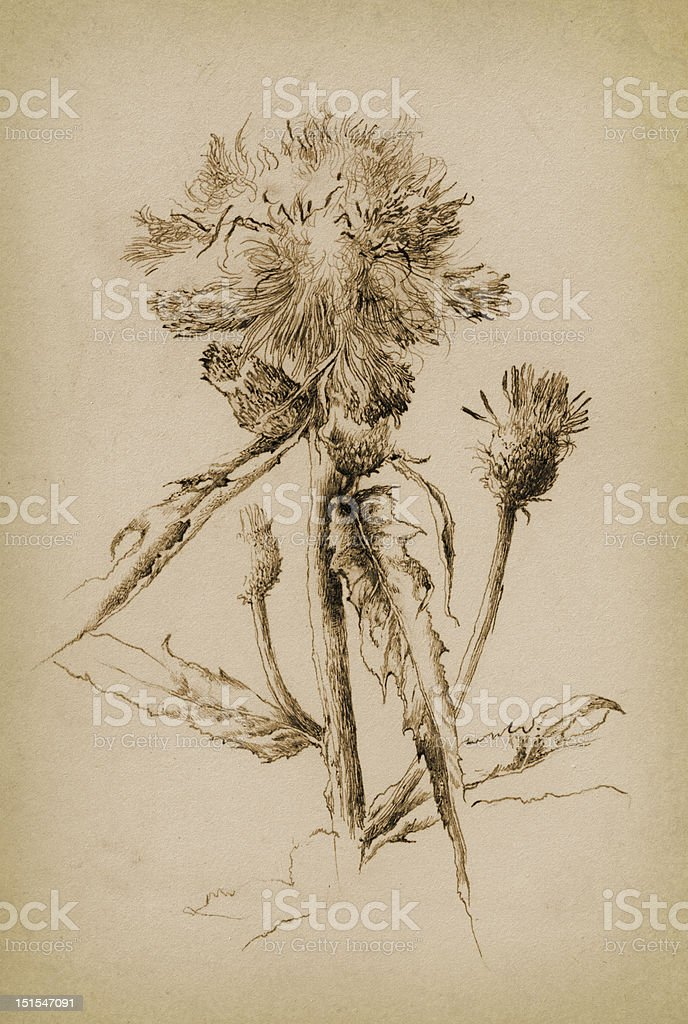 The thistle royalty-free stock vector art