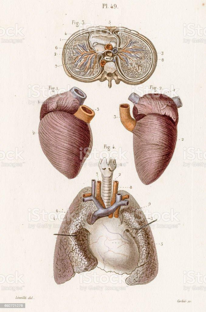 The thorax anatomy engraving 1886 vector art illustration