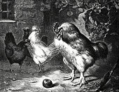 The verdict of Paris: cock and 3 hens looking at an apple