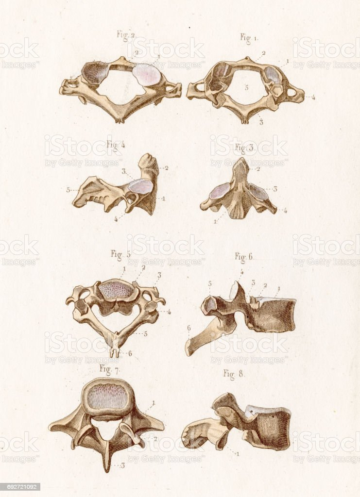 La Anatomía De Las Vértebras Grabado De 1886 - Arte vectorial de ...