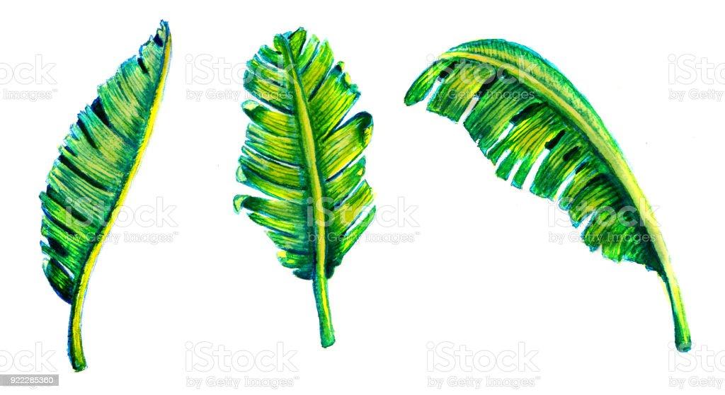 Tropikal Muz Yaprak Beyaz üzerine Suluboya Elle çizilmiş Resmi Stok