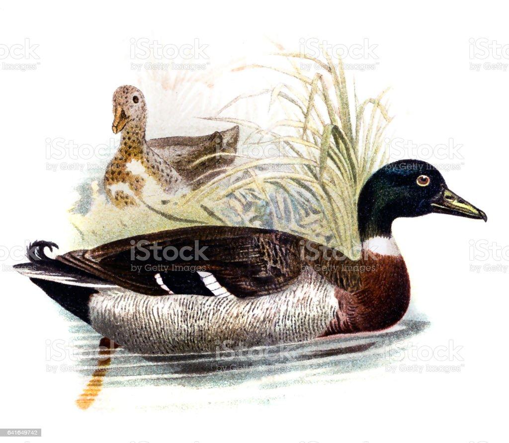 The Wild Duck vector art illustration