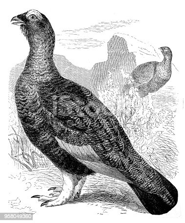 Illustration of the willow ptarmigan ,Willow Grouse (Lagopus lagopus)