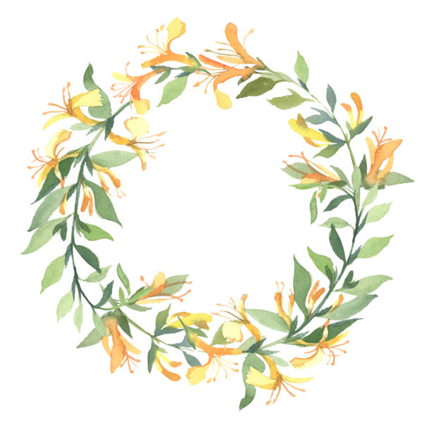 The wreath of watercolor yellow honeysuckle flower isolate on white background. Flowers for wedding cards. The wreath of watercolor yellow honeysuckle flower isolate on white background. Flowers for wedding cards. honeysuckle stock illustrations