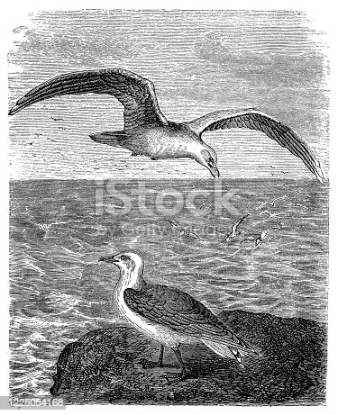 Illustration of the yellow-legged gull (Larus michahellis)