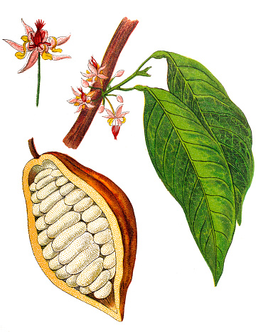 Theobroma cacao ,Cocoa bean