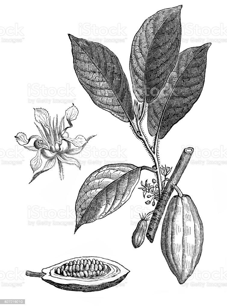 Theobroma cacao ,Cocoa bean vector art illustration