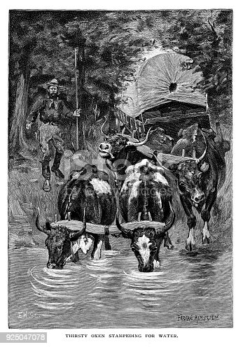 Thirsty oxen stampeding for water - Scanned 1891 Engraving