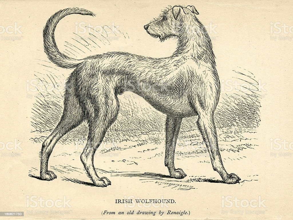 royalty free irish wolfhound clip art  vector images  u0026 illustrations