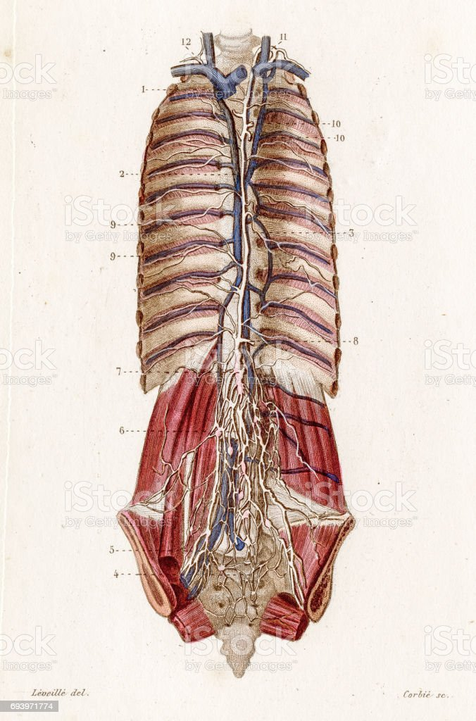 Thoracic Duct Anatomy Engraving 1886 Stock Vector Art More Images