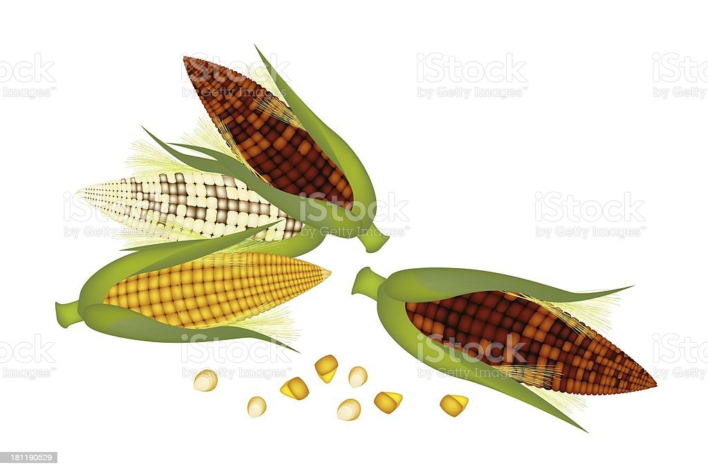 Three Ears of Corn with Husk and Silk royalty-free three ears of corn with husk and silk stock vector art & more images of agriculture