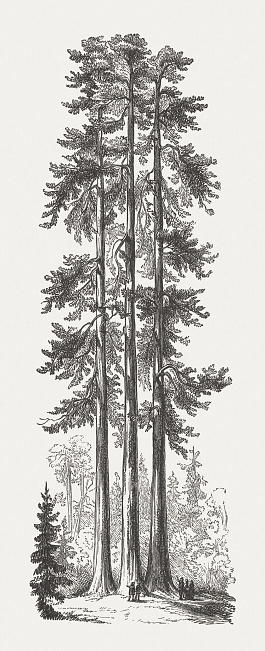 Three Graces, Yosemite National Park, USA, wood engraving, published 1894