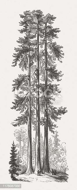 Historical view of The Three Graces in Mariposa Grove of giant redwoods, Yosemite National Park, California, USA. Wood engraving, published in 1894.
