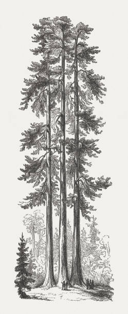 Three Graces, Yosemite National Park, USA, wood engraving, published 1894 Historical view of The Three Graces in Mariposa Grove of giant redwoods, Yosemite National Park, California, USA. Wood engraving, published in 1894. redwood tree stock illustrations
