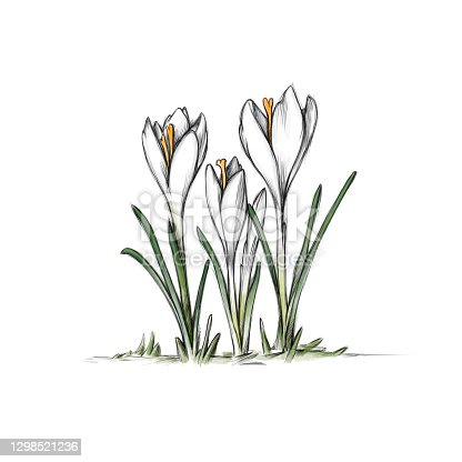 istock three white crocuses on a white background 1298521236