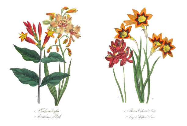Three-Colored and Cup-Shaped Ixia Victorian Botanical Illustration Three-Colored and Cup-Shaped Ixia Victorian Botanical Illustration corn lilly stock illustrations