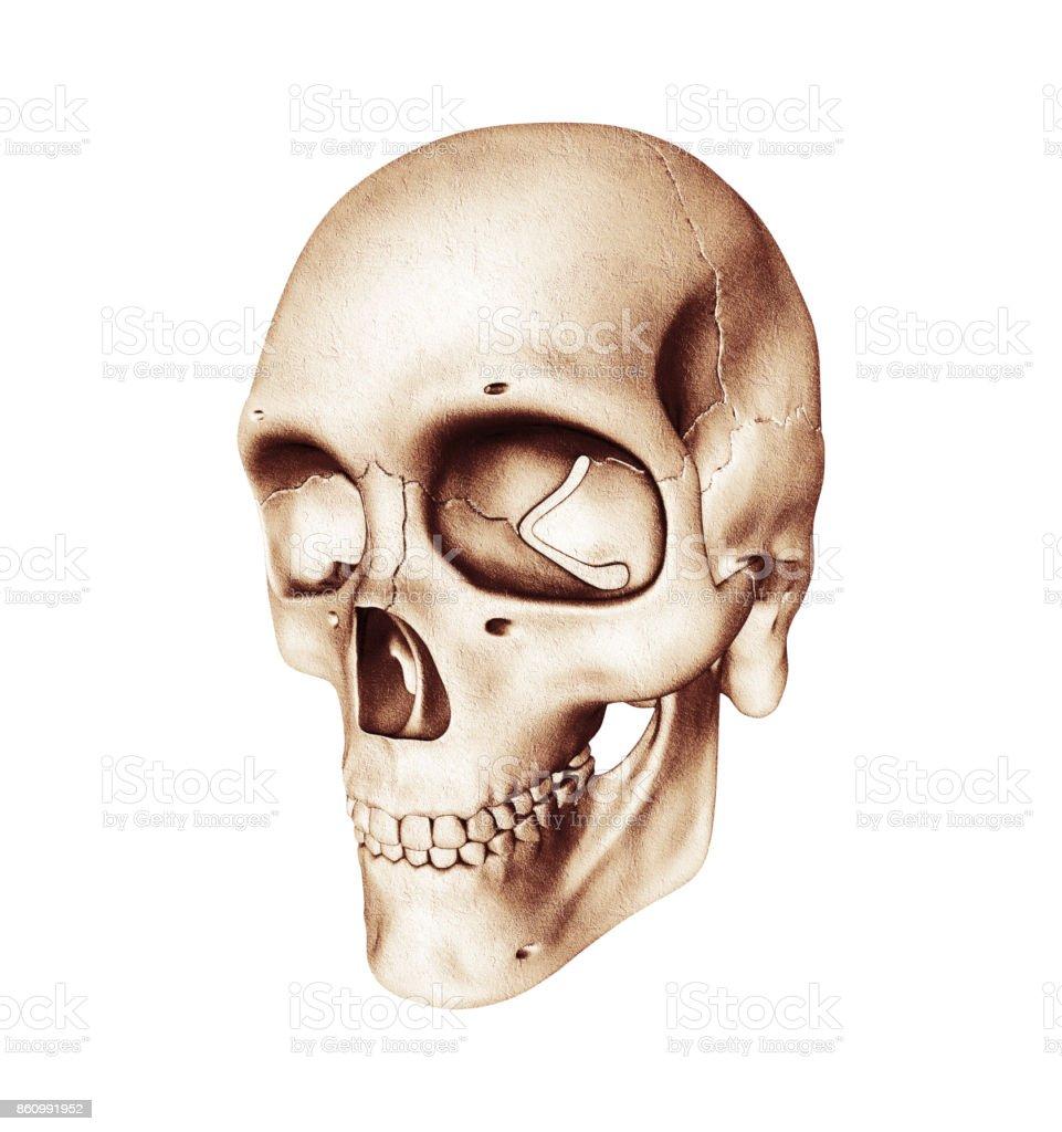 Ilustración de Vista Tres Cuartos Del Cráneo Humano Sobre Fondo ...