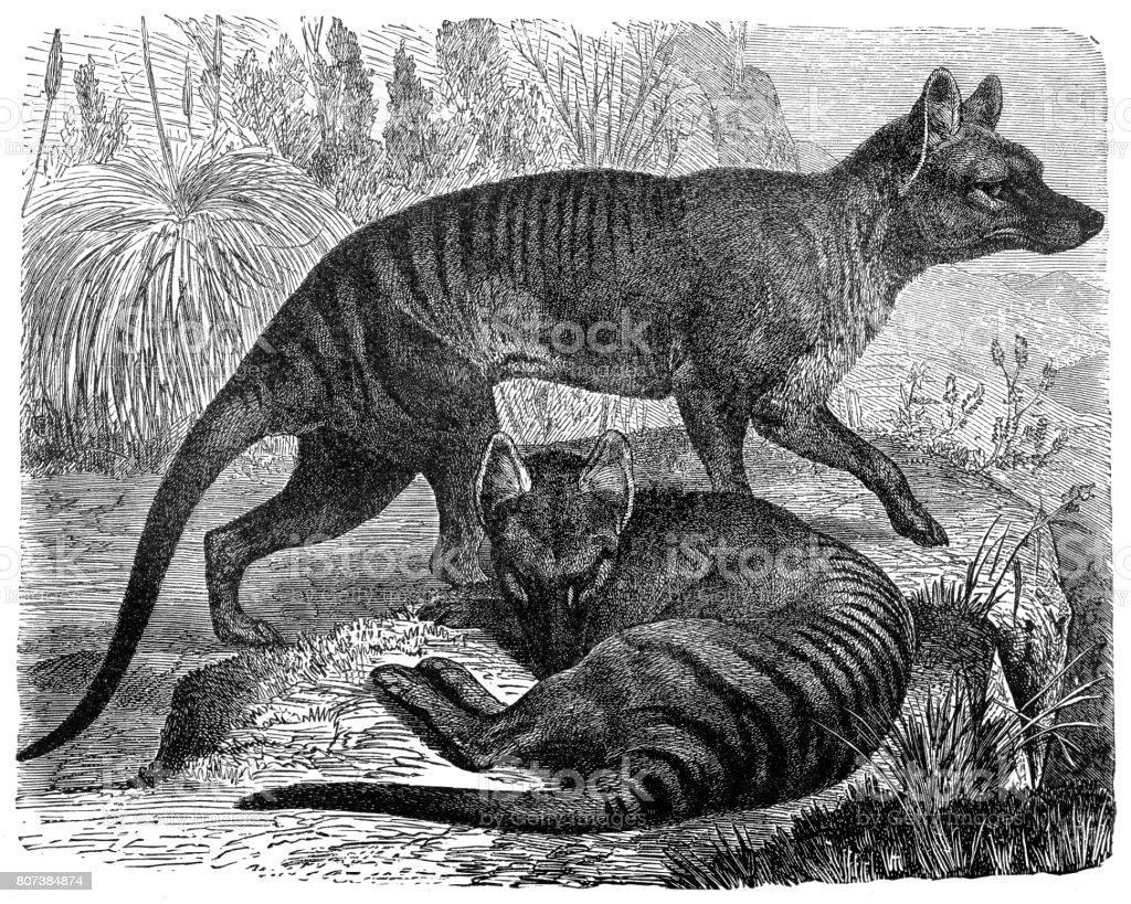Thylacinus ヒヨケザル属 - 19世...