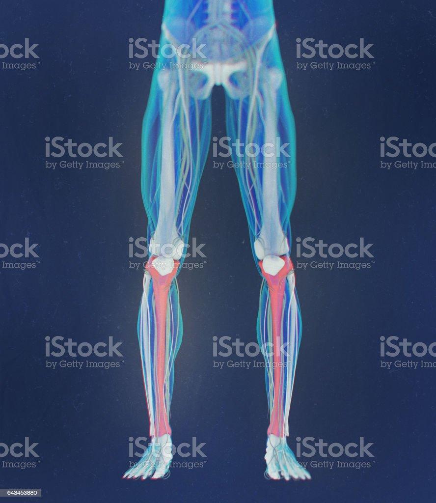 Ilustración de Hueso De La Tibia La Anatomía Humana Ilustración 3d y ...