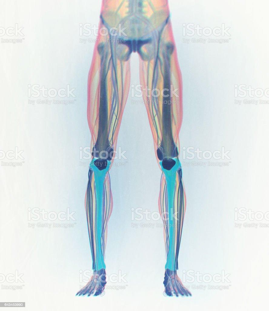 Schienbein Knochen Menschliche Anatomie 3d Illustration Stock Vektor ...