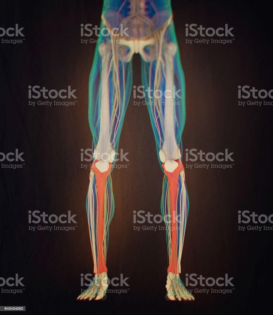 Tibia Bone Human Anatomy 3d Illustration Stock Vector Art More