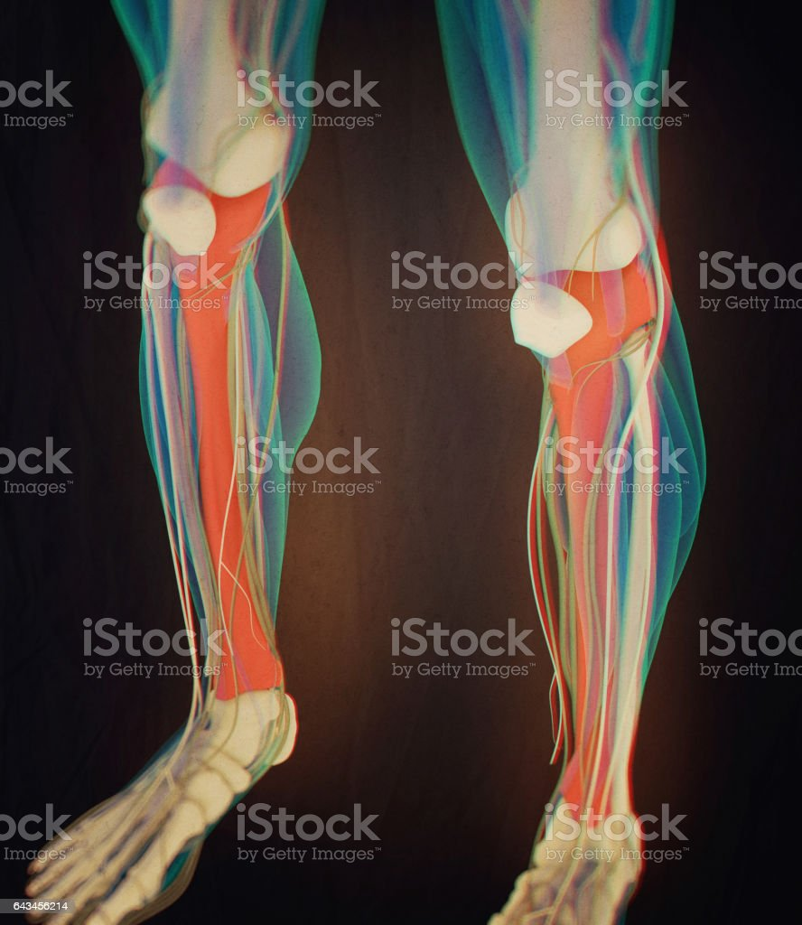 Tibia Bone Human Anatomy 3d Illustration Stock Vector Art & More ...