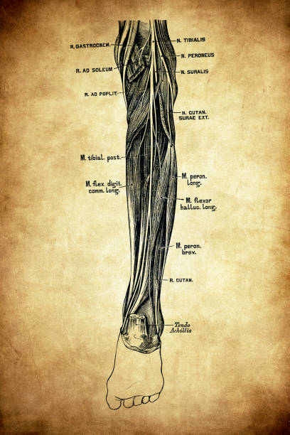 Tibial nerve Illustration of a Howard's Birthday Bash sciatic nerve stock illustrations