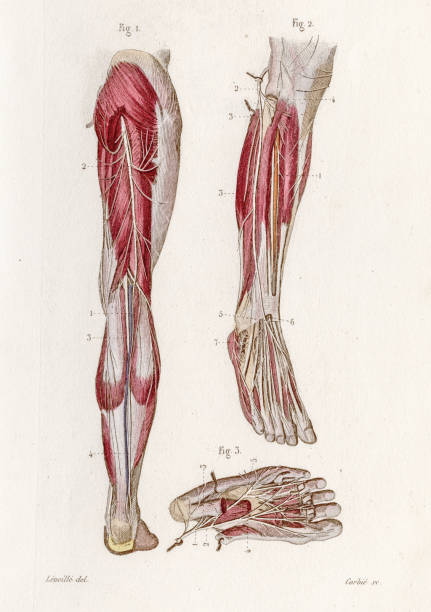 Tibial nerves anatomy engraving 1886 A Text book of Naked Eye Anatomy sciatic nerve stock illustrations