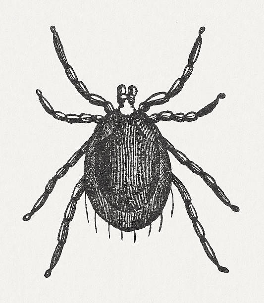 Tick (Ixodes ricinus), wood engraving, published in 1865 Tick (Ixodes ricinus). Woodcut engraving, published in 1865. parasitic stock illustrations