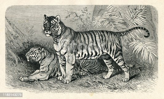 Tiger Original edition from my own archives Source :