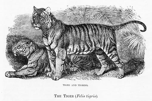 Tiger engraving 1894