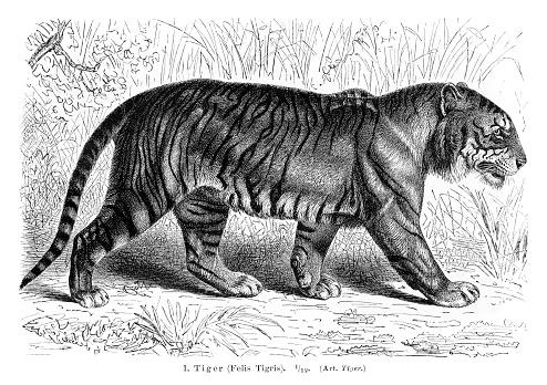 Tiger engraving 1896