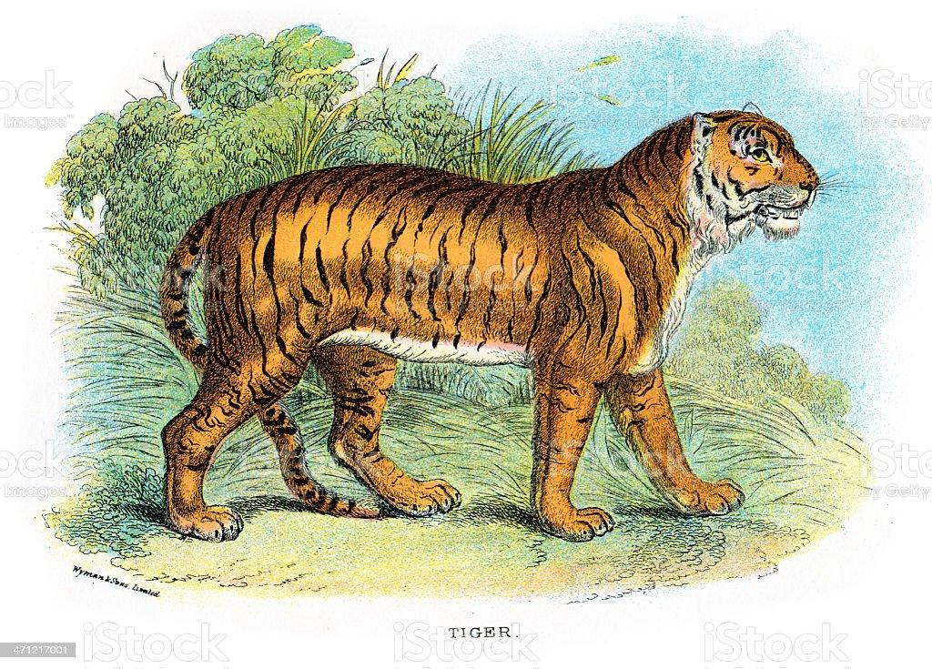 Tiger (Panthera tigris) vector art illustration