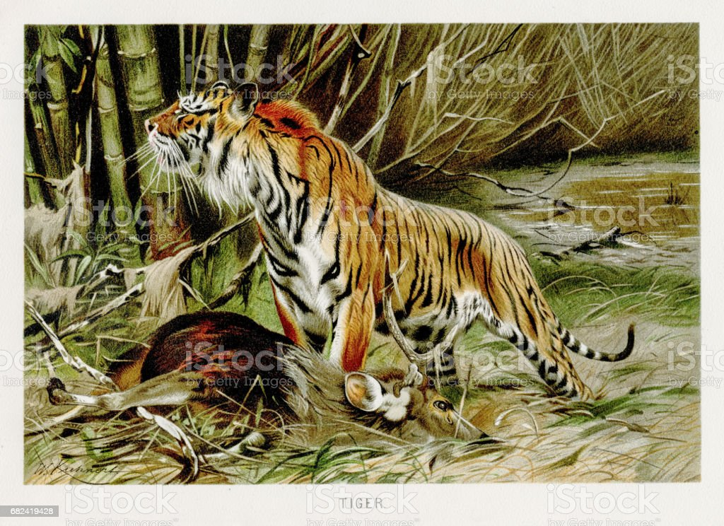 Tiger lithograph 1894 royalty-free tiger lithograph 1894 stock vector art & more images of animal