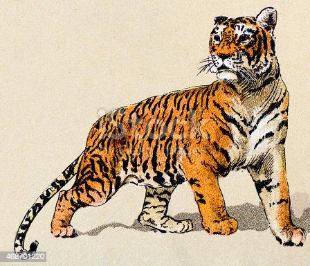 Tiger, mammals animals antique illustration