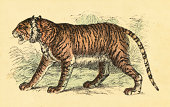 Tiger | Vintage Color Engravings