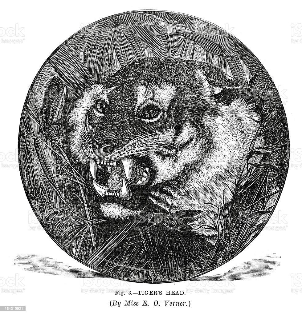 Tiger's Head royalty-free stock vector art